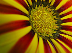 Bend me, shape me, anyway you want me. (☜✿☞ Bo ☜✿☞) Tags: flower garden stripes red yellow amencorner bendmeshapeme canong9 flickrbest firstquality macro platinumheartaward awesomeblossoms theperfectphotographer mupic haribo 100commentgroup overtheexcellence goldstaraward bestcaptureaoi favemegroup4 excellence aplusphoto superaplus afgaz onlythebestare fab amazingmacros superamazingmacrosaward macrolife artofimages bestcapturesaoi oteospermum ngc pureclassgoldbandaward pureclassplatinumbandaward vigilantphotographersunite vpu2 vpu3 vpu4 vpu5 vpu6 vpu7 vpu8 vpu9 vpu10 frameit frameitlevel2 frameitlevel3 frameitlevel4 frameitlevel5 flickrexplore explore flickr