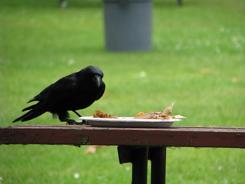 Crow Stealing Lunch by Cara_VSAngel, on Flickr