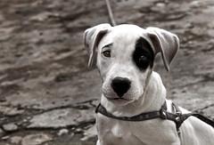 Panda (Thalisson) Tags: dog white black co branco digital canon puppy eos rebel preto explore cachorro doggy 1855 xti 400d