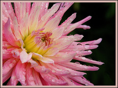 raindrops keep falling on my head................ (atsjebosma) Tags: pink dahlia summer macro nature rain weather rose garden drops thenetherlands natuur zomer raindrops groningen regen druppels naturesfinest