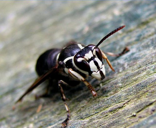 White faced hornet