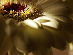 CREAM...AND TENDERNESS (Magda Reis) Tags: flower cream gerbera