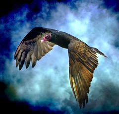 Turkey Vulture (beachwalker2008) Tags: bird grunge turkeyvulture sandsbeach visiongroup