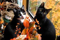 Happy Thanksgiving! (The Cat's MeOM) Tags: thanksgiving autumn orange white black fall window leaves yellow cat blackcat kitten chat all kitty kittens 2006 fave tuxedo gato katze minnie tuxedocat 2008 gatto remi gatinho gatito chaton gattino bestofcats katzchen boc1008