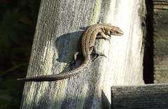 They love the sunny places (Lalallallala) Tags: wild animal suomi finland reptile lizard wildanimal viviparouslizard commonlizard sisilisko nilsiä haluna zootocavivipara