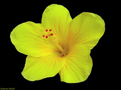 Yellow Hibiscus (Hibiscus rosa-sinensis)  11900 Views (Photo Plus 1 (Kamran Ahmed)) Tags: pakistan blackbackground photo hibiscus hibisco kamran hibiscusrosasinensis ahmed cayena a2z rosasinensis naturesfinest plud supershot colourartaward
