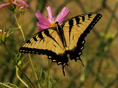 Kissed Once Again - Eastern Tiger Swallowtail, Papilio glaucus (greekstifado - Yanni) Tags: flowers summer macro nature butterflies lalalalala fpc