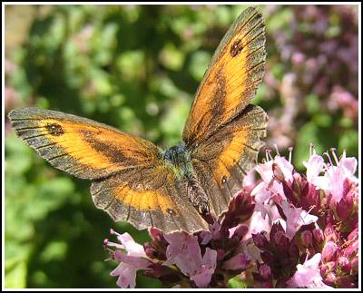 Butterfly3 copy