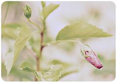 hibiscus bud ({ allison }) Tags: flower wet rain vintage droplets bokeh antique august hibiscus 2008 muted