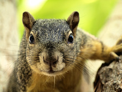 Hello Hello Hello (marctonysmith) Tags: california nature wow mammal la losangeles squirrel olympus explore 70300mm 2008 zuiko photoshop70 foxsquirrel e510 zd explore3 sciurusniger impressedbeauty gisuggested