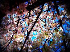 Blossoms (Redux) (Williamo!) Tags: favorite pos