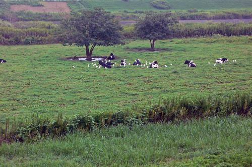 渡良瀬川の牛