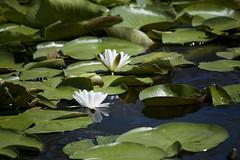 Nuferi (stanciu.irina) Tags: water delta romania sulina