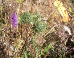 Fallen thistle flower