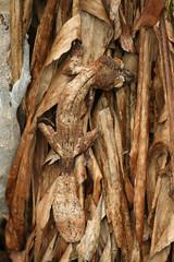 Giant leaf-tail gecko (Uroplatus fimbriatus) - Exotic Reserve Peyrieras, Madagascar