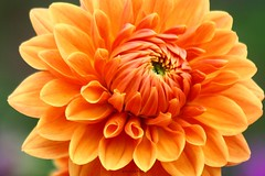orange dahlia (PHOTOPHOB) Tags: dahlia flowers autumn red summer orange plants plant flores flower color macro rot nature fleur beautiful beauty fleurs germany garden petals spring colorful flickr estate autum stuttgart blossom sommer herbst natur flor pflanze pflanzen blumen zomer verano bloom otoo blomma vero dalie t blume fiore blomst asteraceae outono dahlias dalia frhling bloem jesie floro kwiat killesberg dahlie lato lto sonbahar dahlien kvt blomman efterr blomsten bej dalio colorphotoaward aplusphoto colourartaward photophob multimegashot mimamorflowers awesomeblossoms