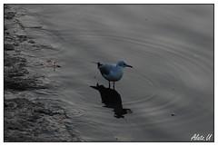 No es la del PP (Soniko   Kaleko Begiak) Tags: naturaleza fauna de seagull aves bilbao pajaros gaviota ria kaioa olabeaga
