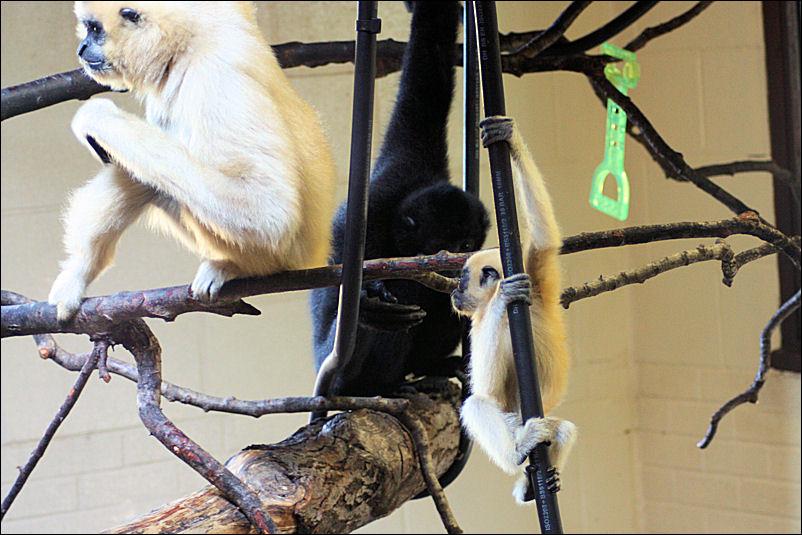 Golden Cheeked Gibbons