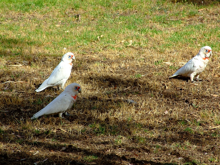 3 long billed corella cockatoos