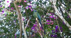 Barranquero. Blue-crowned Motmot.
