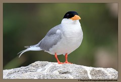 Indian River Tern (Nagaraj B R) Tags: birds karnataka rivertern sigma70300 ranganatittu