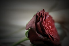 صدقني ~ (ًWeda3eah*) Tags: red brown 3 flower by dark soft hand l qatar digitalcameraclub a weda3eah