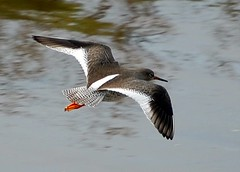 red shank flying (coral.hen4800) Tags: life wild sky fly flying woods parks ducks soe curlew turnstone supershot mywinners abigfave platinumphoto anawesomeshot goldstaraward