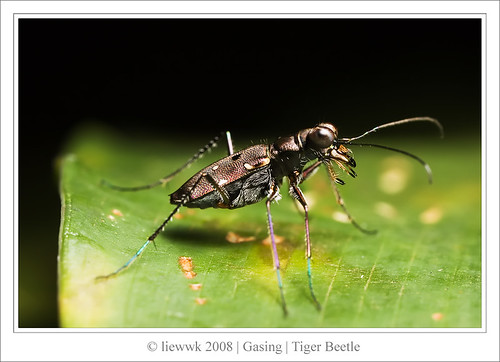 2.7 Tiger Beetle 深山小虎甲   ... Side view