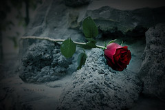 ,, لك وحشه (ًWeda3eah*) Tags: red black flower by dark rocks alone all sad you hard u miss without qatar sadnees weda3eah