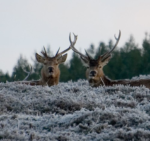 Red deer stags (2)