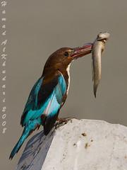 Gotch You (HAMAD ALKHUDARI) Tags: wild bird king fisher  hamad    specanimal    kvwc  alkhudari