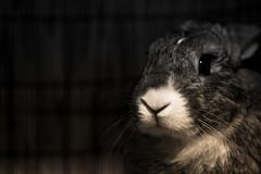Funny Bunny (DSLR_MANIA) Tags: pet pets rabbit bunny animal eos small korea seoul southkorea lapin eos1d canon1d lagomorpha leporidae lepus canonef100mmf28usm smallpet ef100mmf28usm eos1dmark3 canon1dmark3 leporid leporids dslrmania nonrodent