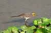 Citrine Wagtail (nurur) Tags: bird dam bangladesh feni wagtail citrine citrinewagtail muhuri nurur muhuridam muhuririver