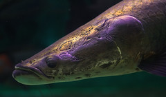 arapaima (katachthonios) Tags: fish eye canon dark rebel zoo aquarium head toledo scales iridescent fin arapaima zoological 50mmf14usm