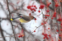 Cedar Waxwing with Berry (segamatic) Tags: red tree bird animal canon eos berry pretty berries dof feeding michigan wildlife beak rochester cedar balance hungry waxwing bombycillacedrorum balancingact bigmomma canonef70200mmf4lisusm canonef14xiiextender photofaceoffwinner photofaceoffplatinum pfogold thechallengefactory 5dmarkii fotocompetition fotocompetitionbronze tmoacawardwinner 5dmkii herowinner