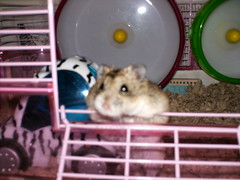 Squeaky (matsudabunch) Tags: dwarf hamsters