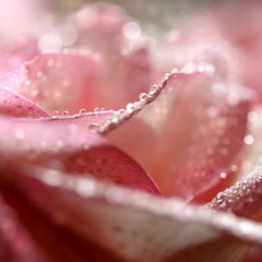 tickled pink... (janoid) Tags: pink rose sparkles bravo hugs waterdrops besitos xoxoxo xoxox  janoidmagic xobyu