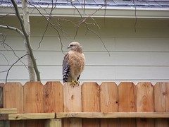 Red-shouldered Hawk (Buteo lineatus) (Red Rooster...) Tags: bird nature texas hawk tx houston redshoulderedhawk redshouldered friendswood buteolineatus lineatus houstonist onlythebestare publandsnw11