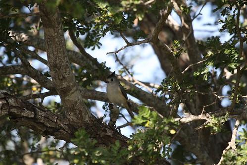 Black-crested