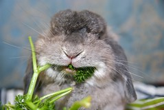 Pleased parsley monster face (jade_c) Tags: pet rabbit bunny animal mammal singapore parsley opal  hollandlop andora  lagomorph opalhollandlop englishparsley parsleymonster