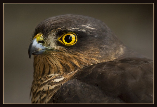 Sparrow Hawk by hvhe1.