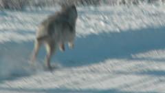 Loup en course / Running wolf