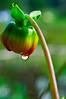Flower Bud (T Ξ Ξ J Ξ) Tags: flower indonesia bandung nikkor flowerbud d300 ciwidey rancaupas teeje