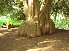 Grand Root..(Xplor) (rabidash*) Tags: travel india beautiful fantastic creation dash excellent lovely envy root discovery soe rabi ooty rabindra supershot mywinners mywinner rabidash goldstaraward rkdash