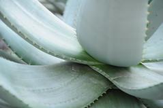 botanico 089 (blum1) Tags: cactus botanico ortobotanico
