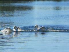 tonight, on the fox channel (la boo) Tags: park bird video swans bikeride behaviour featheryfriday colonelsamsmith