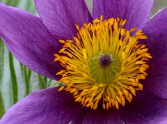 purple and yellow (mclcbooks) Tags: flowers flower macro closeup photography purple group flickrcentral pasqueflower flowerpower macrogroup purpleflowers denverbotanicgardens macroworld flowercloseups ranunculae bloomingflowers flowerscolors fragrantflowers quintaflowers flowerlovers languageofflowers perfectpetals mywinners photogarden theworldupclose catchycolorsgroup flickrawards fabulousflowers flowersgroup flickrbronzeaward freenature flowersarebeautiful prettynaturephotos springtimeblooms goodpoororindifferent flowersmacroworld macroflowersgroup macroflowerlovers wholelotofflowers astonishingflowers spiritofphotography wonderfulworldofmacro mimamorflowers photosofqualitytosmileabout defendersnaturemacroandcloseup thebestflowersshots lluviadefloresrainofflowers screamofthephotographer canoneosrebelxsi flickrsawesomeblossoms simplythebestflowers freeflickrflowersfff amazingdetails unforgettableflowers canoneosrebel450d macromaniaflowersonly flickawards universeofnature lovetheworldofnature naturesprime scoremyflower thebestofunforgettableflowers mygearandme1 silveramazingdetails hennysflowergardens thenaturessoul betterthangoodlevel1 butterfliesandflowersphotos exquisitelygorgeousflowers elisfavoriteflowers pulsatillaregeliana denverbotanicgardensgroup elencantodelasfloresthecharmofflowers unidentifiedflowersandplantsgroup