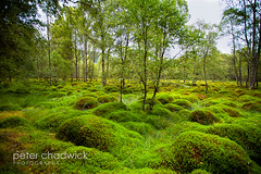 Green_carpet (PeterChad) Tags: wood light green nature beauty relax botanical scotland moss highlands soft peace sleep young restful growth getty loch lush botany biology ard wooded sapling lochard sphagnummoss sphagnum beautyinnature scerenity
