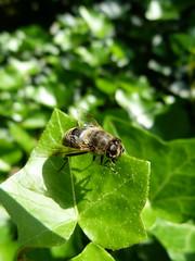 Bee (pindo76) Tags: macro green nature animal animals fauna bug insect lumix fly photo leaf flora focus groen foto wasp natuur panasonic bee bumblebee blad tuin bos dieren dier bij wesp hedra dmcfz40 fz40 fz45 dmcfz45