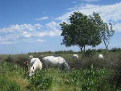 Camargue Horse, Parc Naturel du Méjean (hippiebrown24) Tags: horse france montpellier parc camargue balade lattes naturel méjean